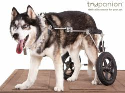 Husky in doggie wheelchair