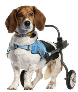 Beagle in a wheelie cart